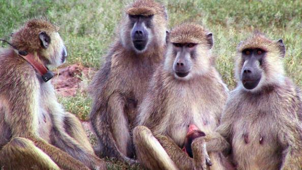 A Primate's Post